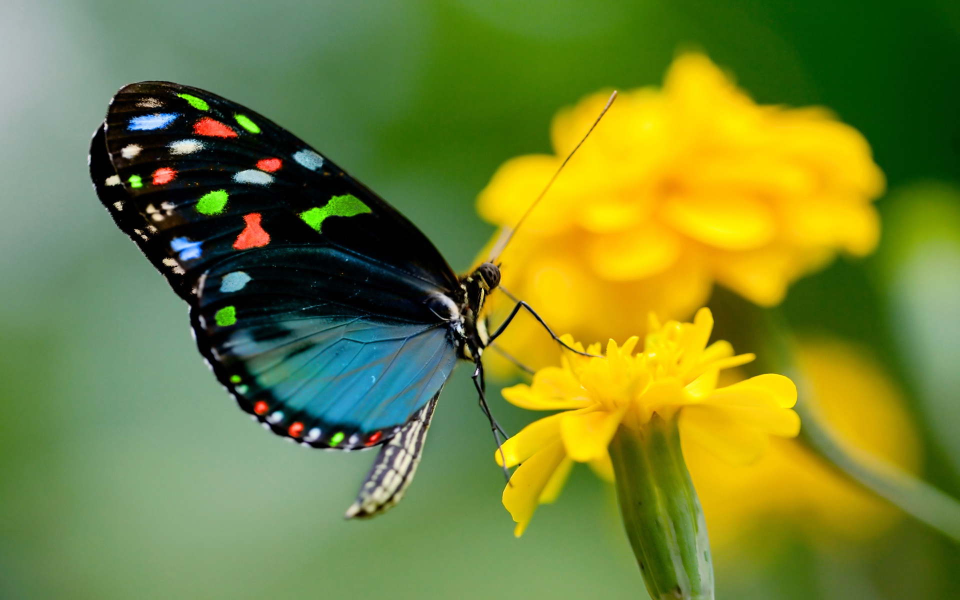 Wonderful Wallpaper High Resolution Butterfly - Butterfly-on-yellow-flowers-so-nice-images  Picture_289514.jpg