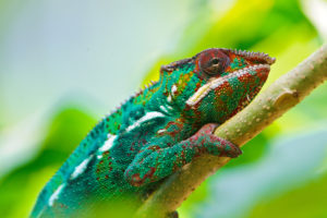 Colorful Chameleon 4K
