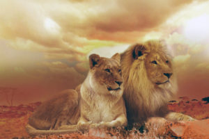 femle_male_lions-wide