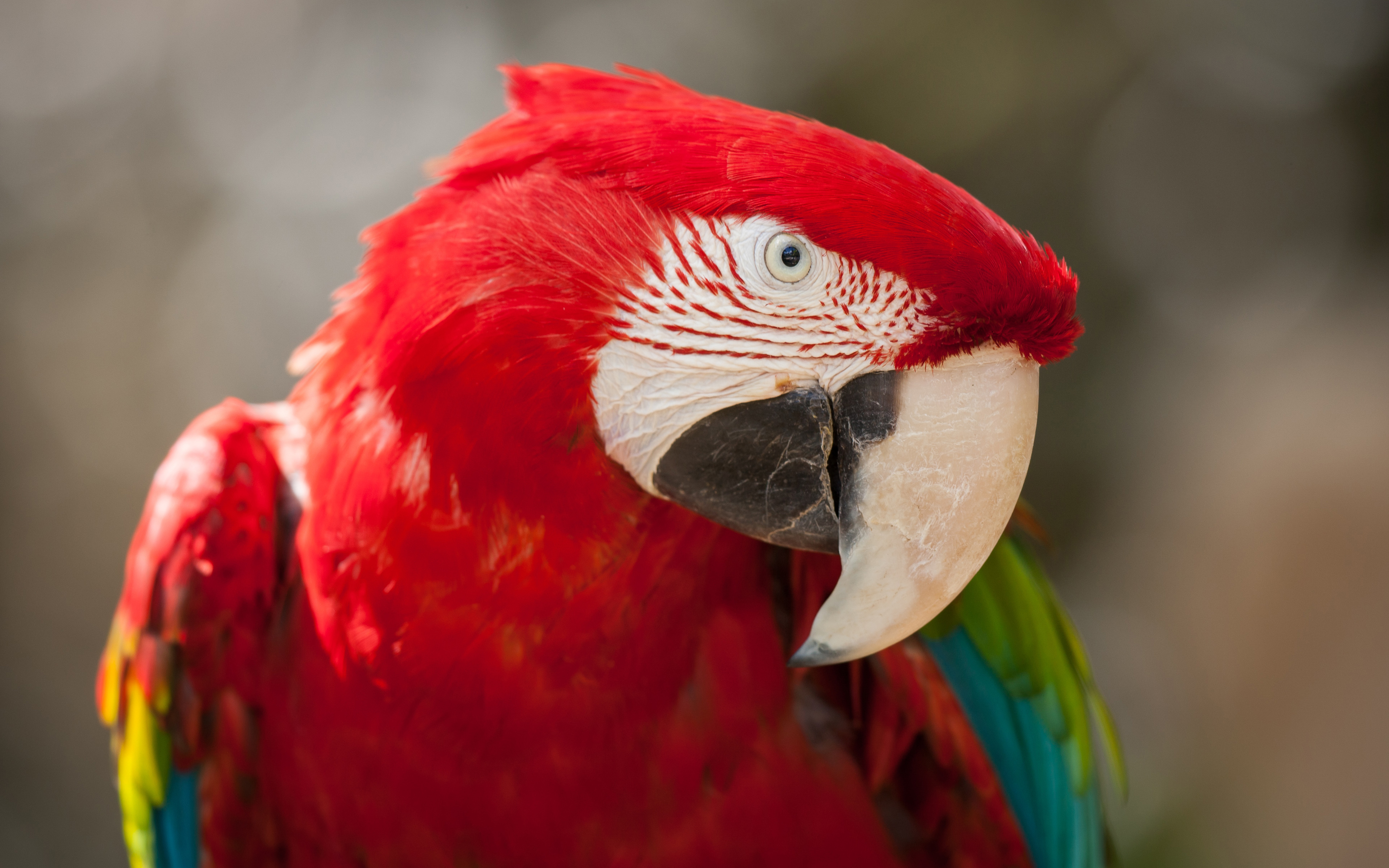 red_green_macaw_4k-wide