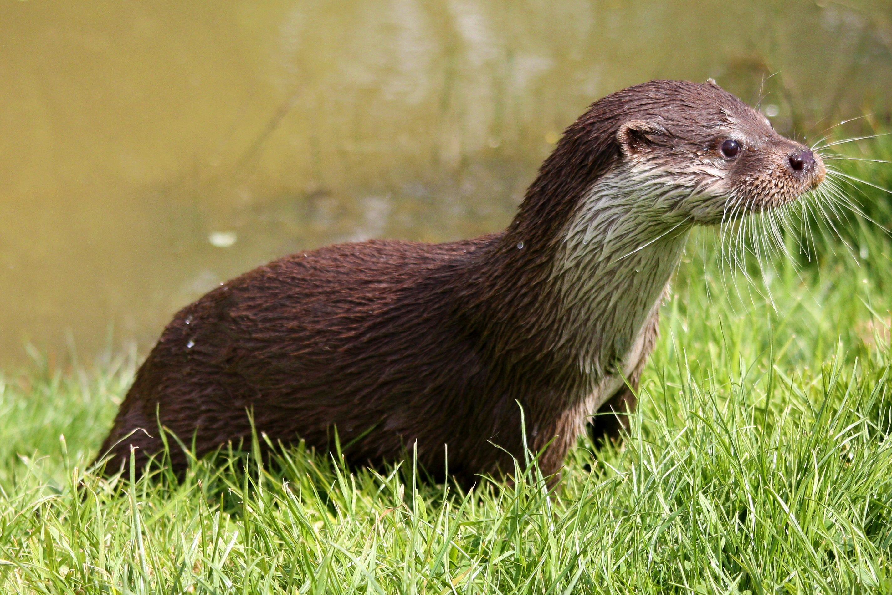 otter_wet_grass_112968_2850x1902