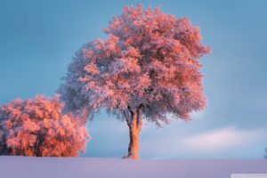 Trees, Winter, Pink Sunset HD desktop wallpaper