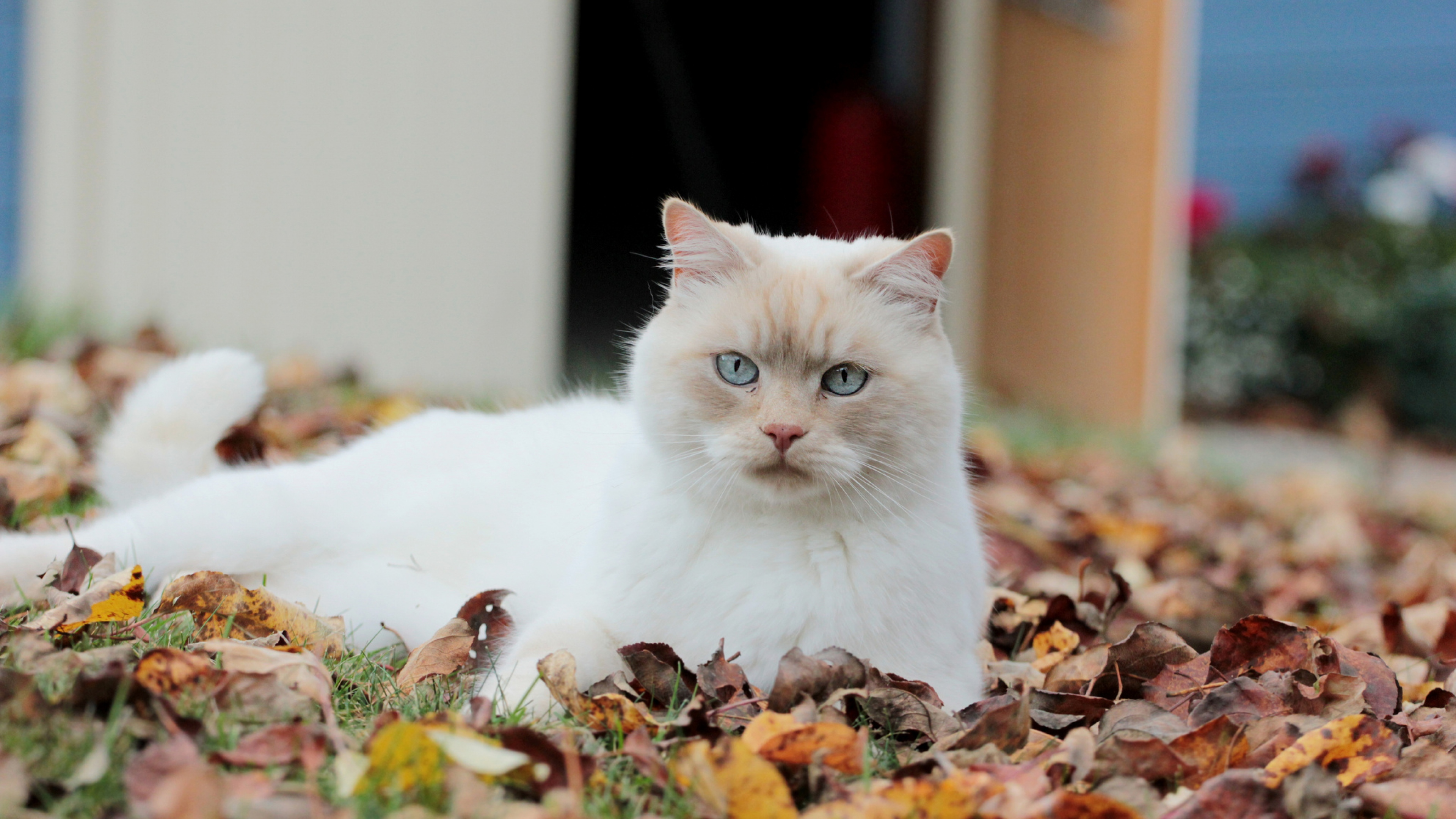 cat_leaves_autumn_dead_white_eyes_94000_3840x2160