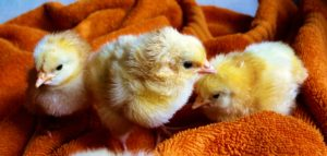 Chicken chicks