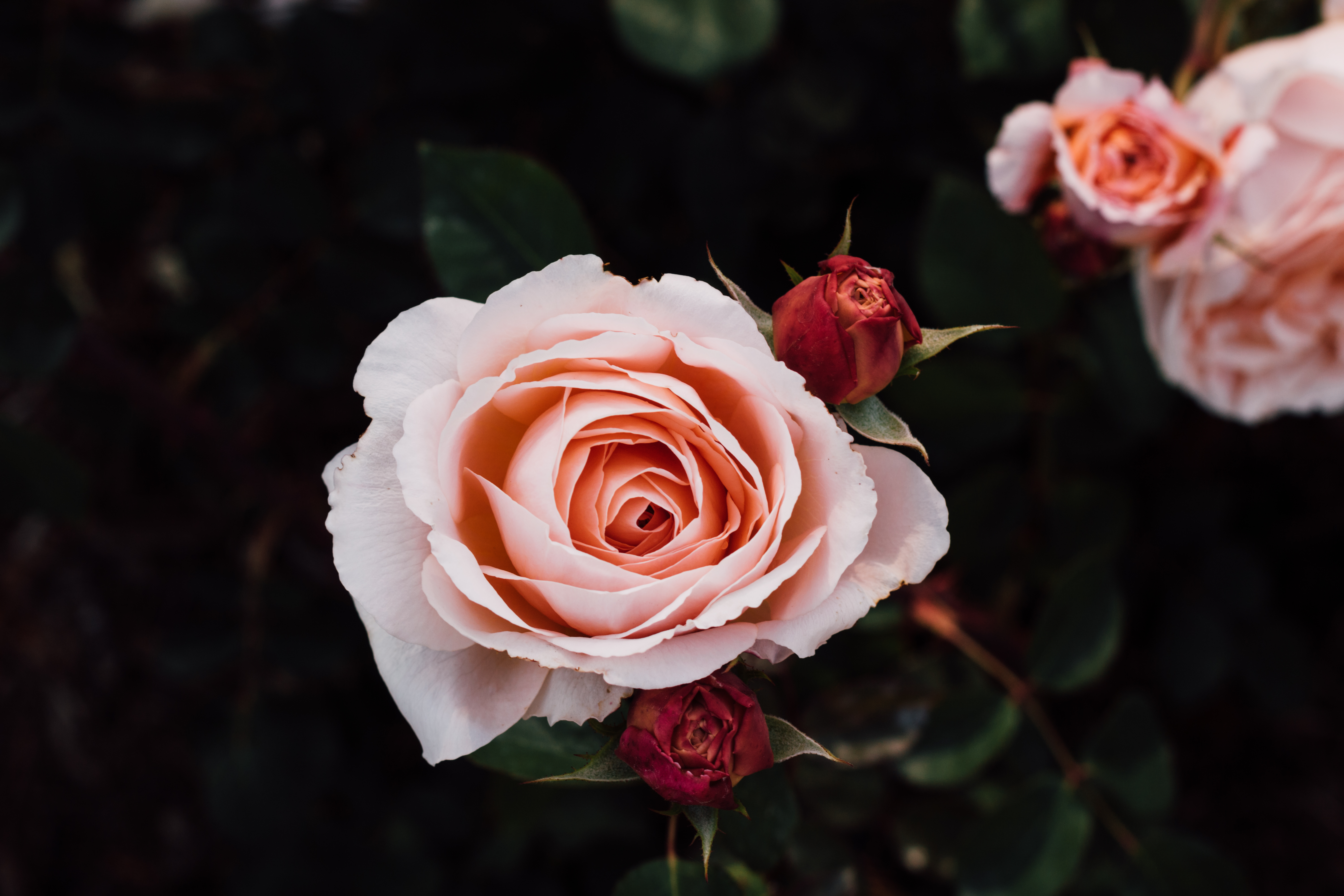 roses_buds_petals_flowers_114879_6000x4000