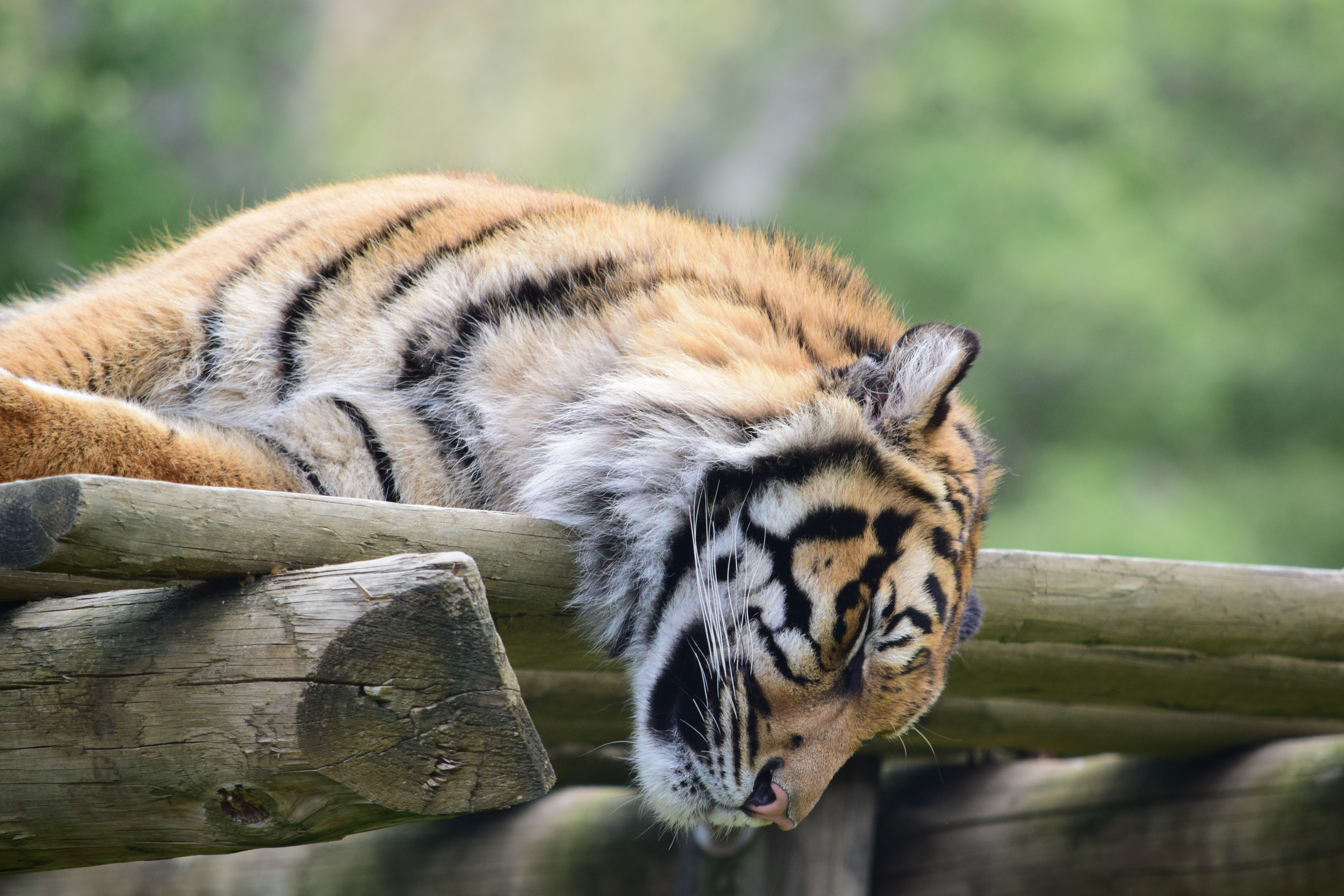 tiger_muzzle_sleep_predator_114859_6000x4000