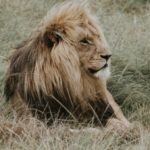 lion_mane_predator_king_of_beasts_114612_602x339