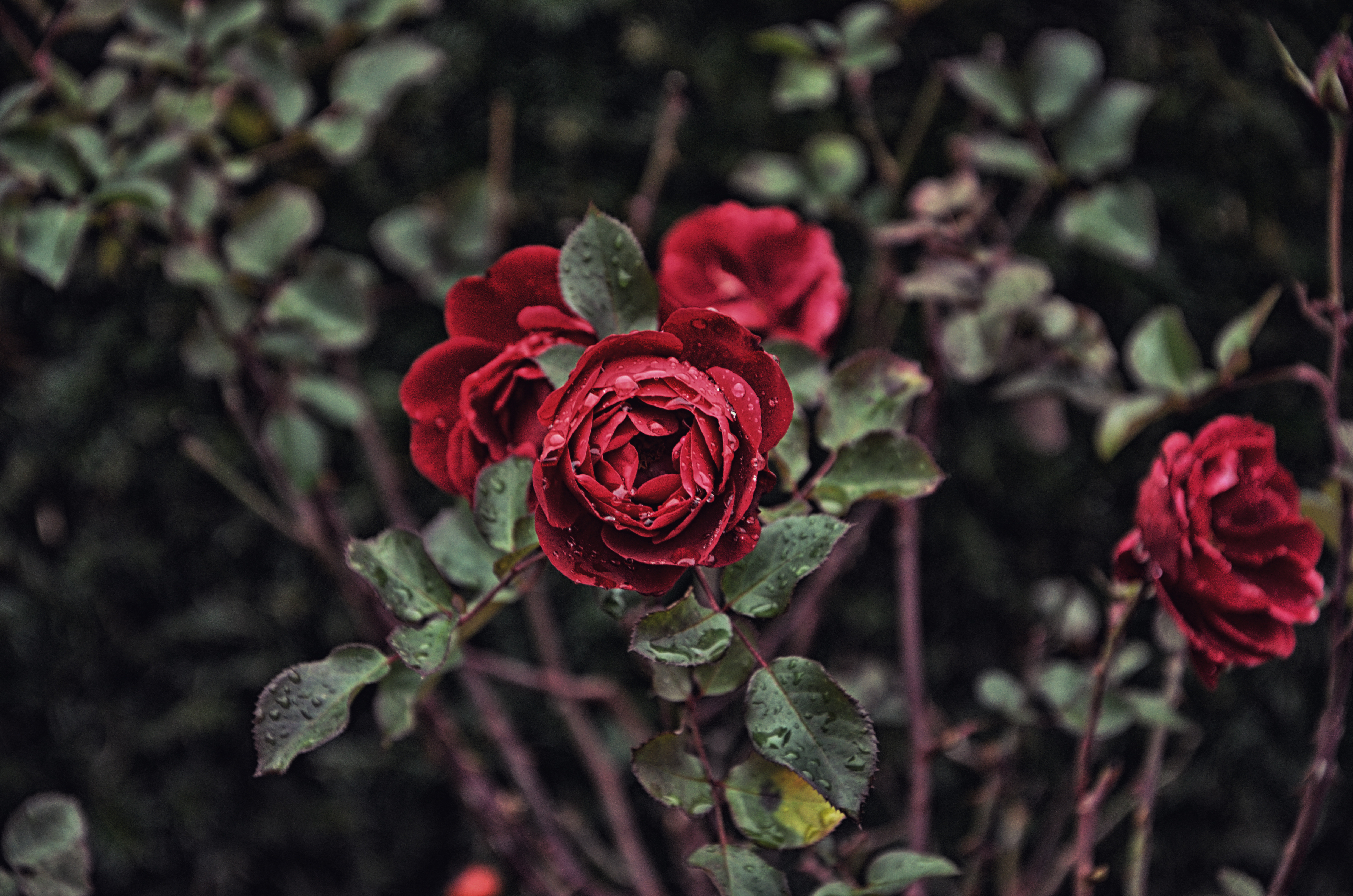 roses_branch_flowers_115099_4928x3264