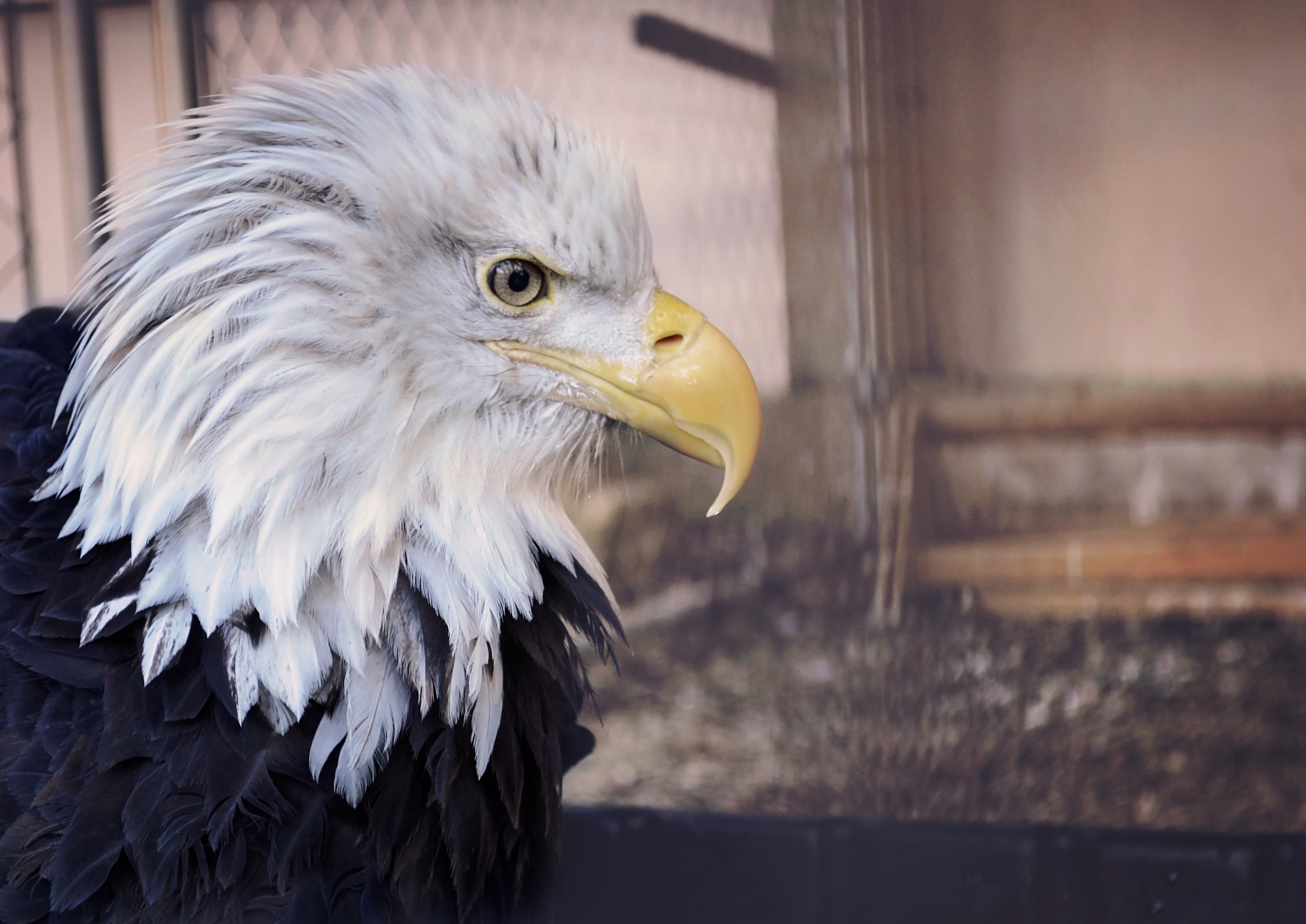 bald_eagle_eagle_bird_predator_beak_115778_4240x3000