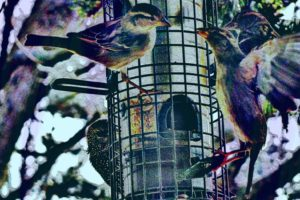 birds_drawing_feeding_sparrows_73063_1680x1050