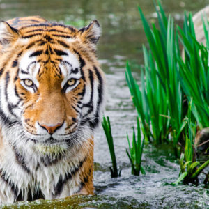 Tiger in Water HD Wallpapers