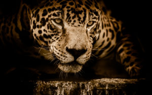 Amazing Jaguar 5K Wallpapers