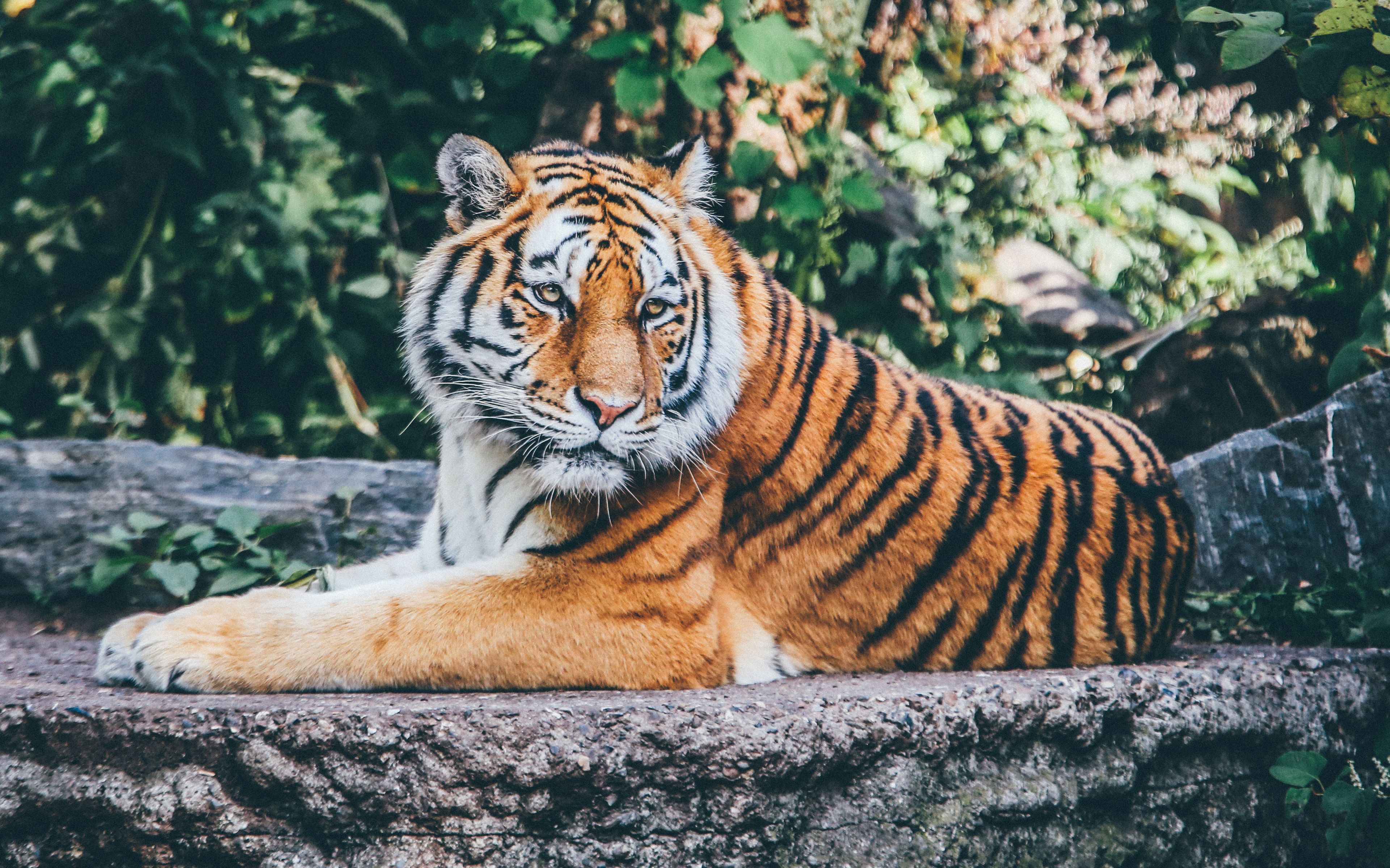 Zoo Tiger 4K Wallpapers