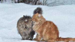 Cats, Couple, Snow, Winter, Kiss