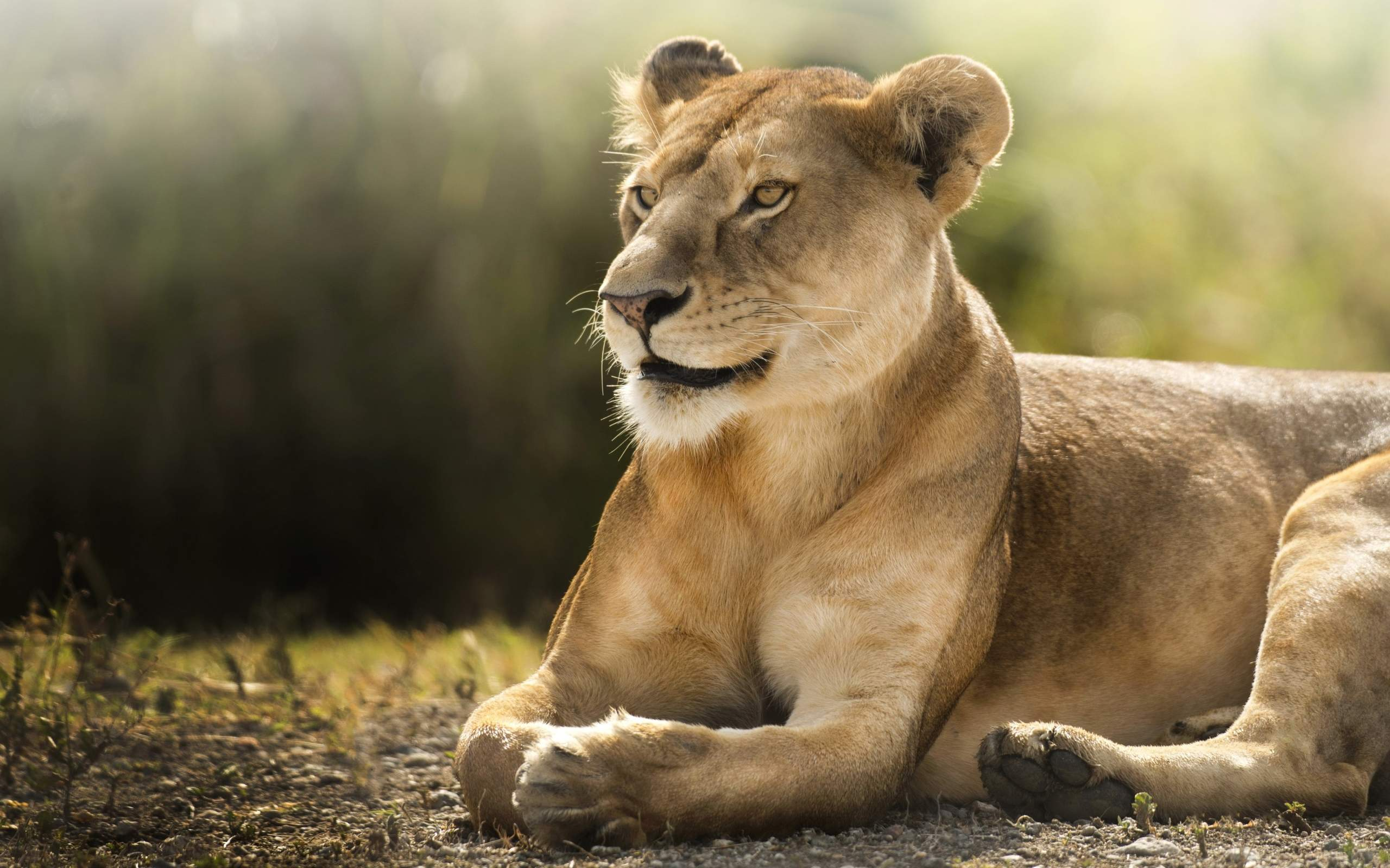 African Lioness HD Wallpapers