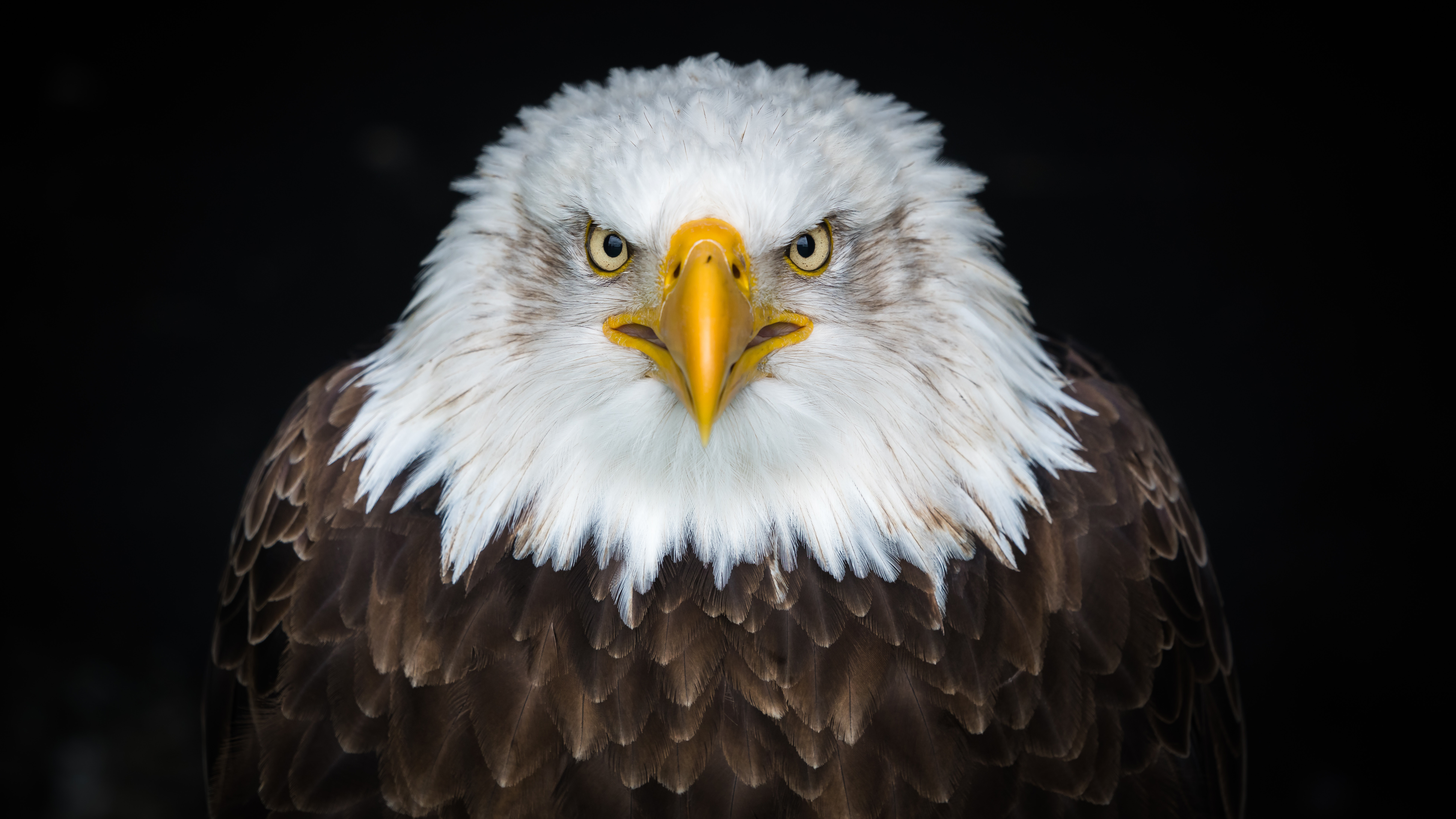 Bald Eagle 4k 8k Wallpapers Hd Wallpapers
