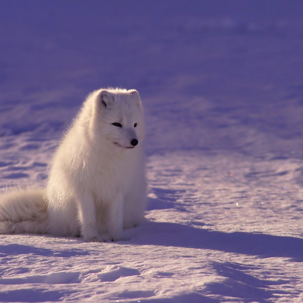 Iphone 5s Wallpaper: Arctic Fox Wallpaper